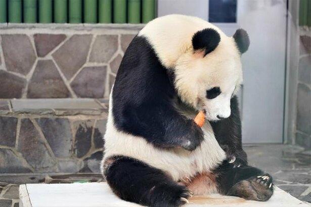 パンダは好きで笹や竹を食べてるわけじゃない! 300年前までは肉食だった/毎日雑学1