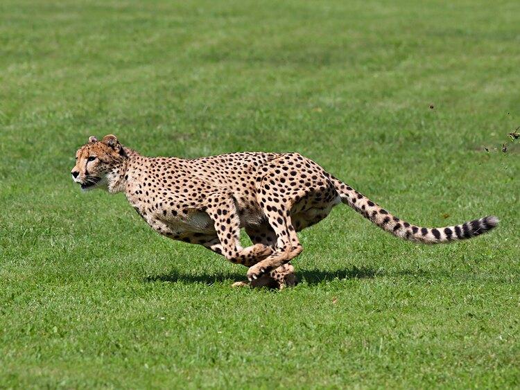チーターは陸上最速の動物として知られるが、全力疾走できる距離はどれくらい?